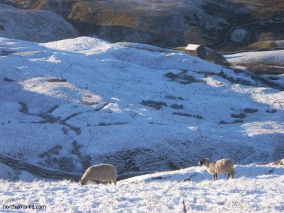 swaledale ewes, oxnop gill