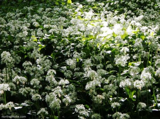 Wild garlic in Billy bank Wood, Richmond, North Yorkshire