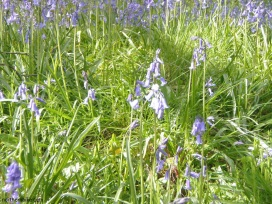 swaldale bluebells