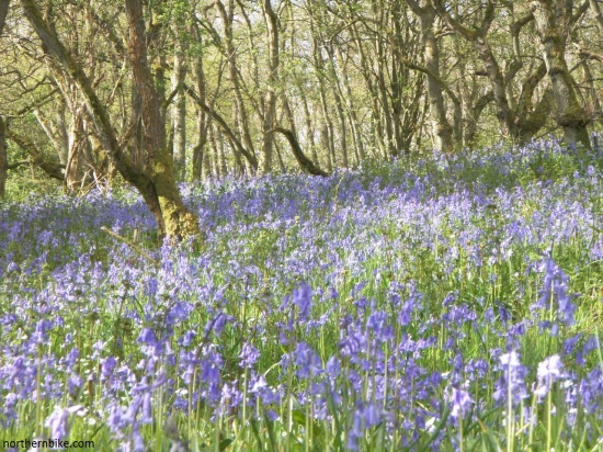 swaledale bluebells