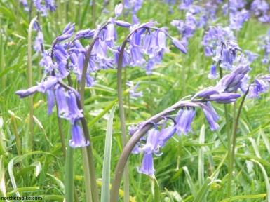 Bluebells, Round Howe Wood, Richmond, Yorkshire