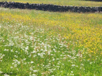 Swaledale meadow