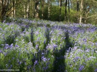 Bluebells, Swaledale, Yorkshire