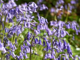 Bluebells, Easby, Swaledale, Yorkshire